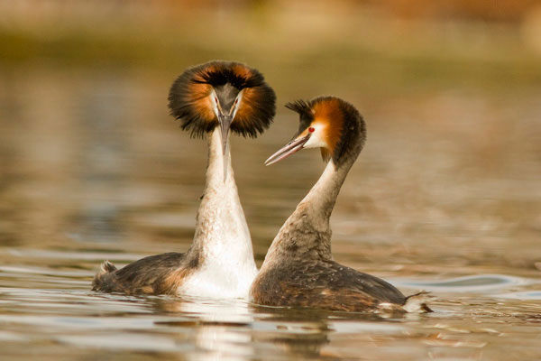 Great crested grebes courship