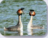Great crested grebes coasters. Placemats and fridge magnets