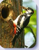 Great spotted woodpecker coasters and fridge magnets