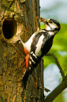 Great spotted woodpecker at the nest