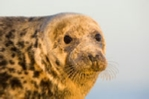 Close-up photo of a female grey seal