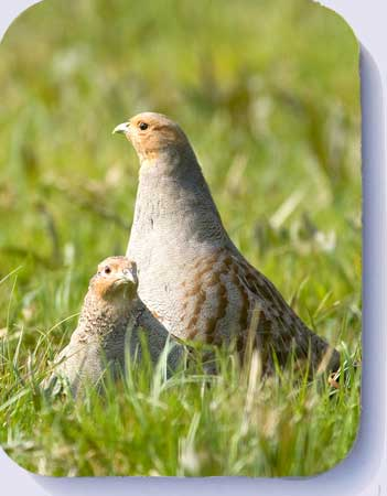 Game bird coasters and fridge magnets grey partridge