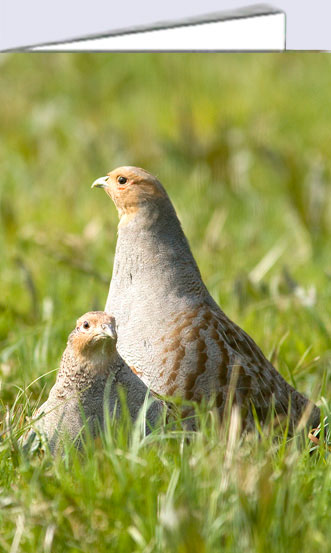 Partridge card, two grey partridges on greeting card