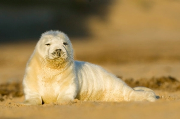 Grey seal pup 53453