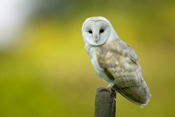 Barn owl hunting from fence post