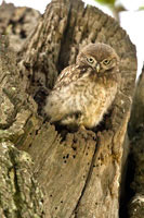 Baby little owl in nest hole