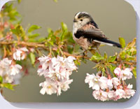 Bird placemats with photo of a long-tailed tit in cherry blossom
