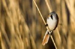 Bearded reedling in photo in pink champagne mount