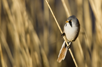 Male bearded reedling perched on stem of Norfolk reed