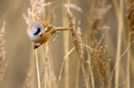 Male bearded reedling photo