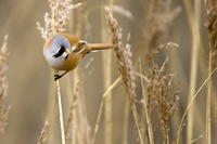 Male bearded tit at Cley marshes