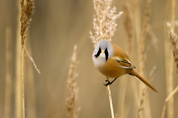 Photograph of a male bearded tit, side view