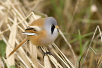 Male bearded tit among Norfolk reed stems