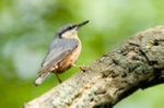 Nuthatch photo in pink champagnem mount