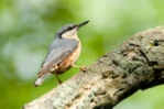 Nuthatch photo in cream mount