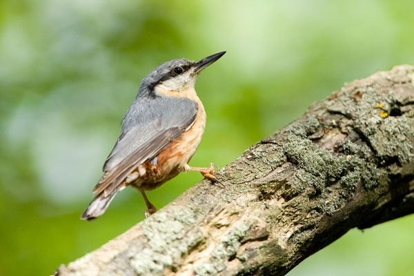 Nuthatch in Holkham Park