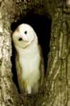 Barn owl photo in Pink Champagne mount
