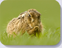 Placemats coasters and fridge magnets with photograph of a hare
