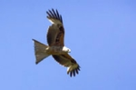 Red kite photo in pink champagne mount