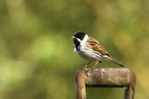 Male reed bunting on spade handle