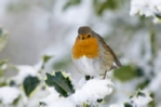 Robin sitting in snow covered holly bush