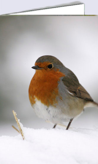 Robin in snow, greeting cards