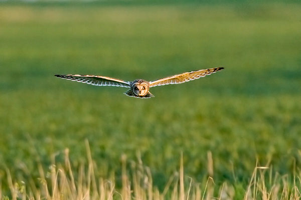Short eared owl hunting on Acle marshes