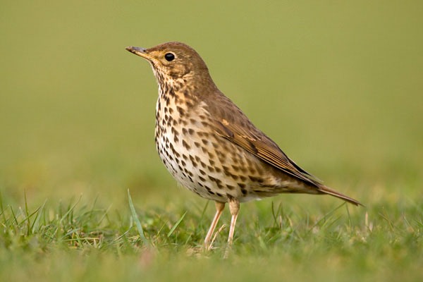 Song thrush hunting for worms