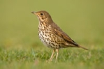 Song thrush mounted photograph