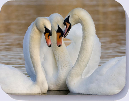 Three mute swans in courtship display, drink coasters