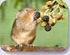 Animal coaster with photo of a water vole picking a blackberry