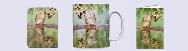 Water vole picking a blackberry on drinking mug, coaster and card