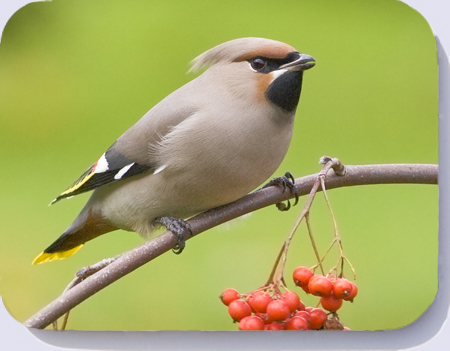 Waxwing photograph on coasters, placemats and fridge magnets