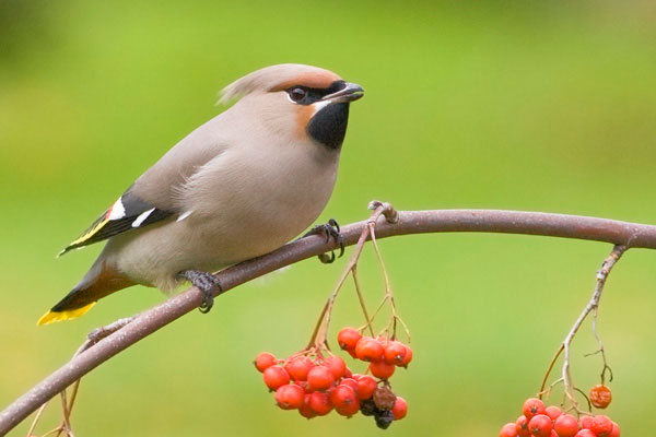 Waxwing feeding on rowan berries